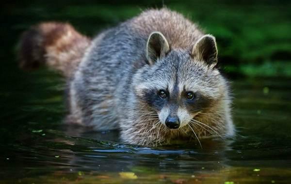 Енот-полоскун-животное-Описание-особенности-образ-жизни-и-среда-обитания-енота-полоскуна-16