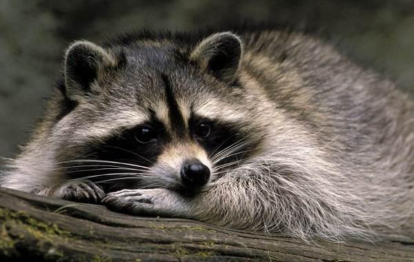 Енот-полоскун-животное-Описание-особенности-образ-жизни-и-среда-обитания-енота-полоскуна-18