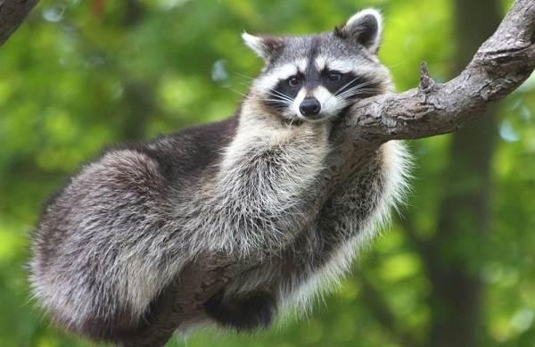 Енот-полоскун-животное-Описание-особенности-образ-жизни-и-среда-обитания-енота-полоскуна-20