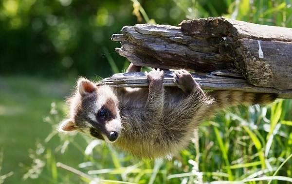 Енот-полоскун-животное-Описание-особенности-образ-жизни-и-среда-обитания-енота-полоскуна-3