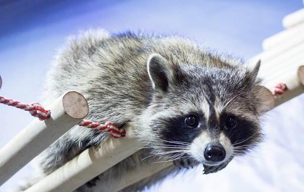 Енот-полоскун-животное-Описание-особенности-образ-жизни-и-среда-обитания-енота-полоскуна-4