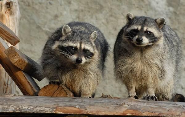 Енот-полоскун-животное-Описание-особенности-образ-жизни-и-среда-обитания-енота-полоскуна-5