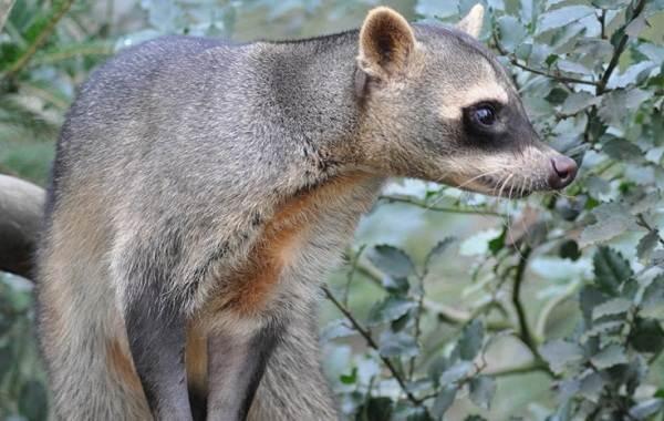 Енот-полоскун-животное-Описание-особенности-образ-жизни-и-среда-обитания-енота-полоскуна-8