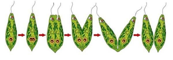 эвглена зеленая это паразит