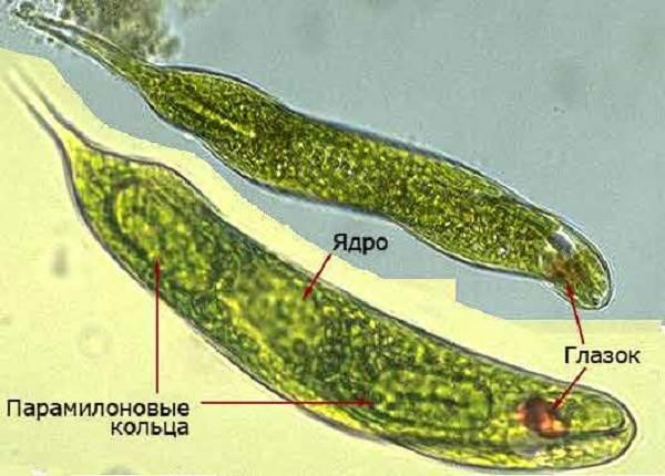 Эвглена-Зелёная-Описание-особенности-строение-и-размножение-Эвглены-Зелёной-5