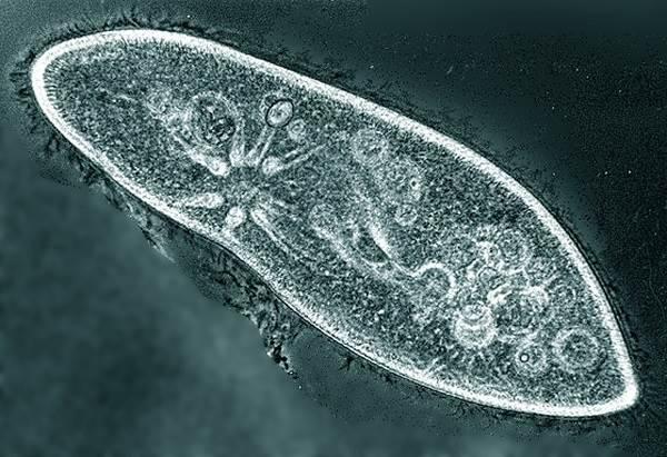 Инфузория-туфелька-Описание-особенности-строение-и-размножение-инфузории-туфельки-3