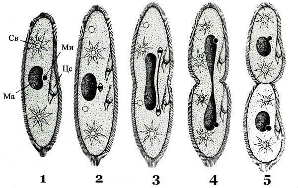 Инфузория-туфелька-Описание-особенности-строение-и-размножение-инфузории-туфельки-4