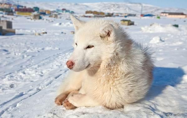 Инуит-собака-Описание-особенности-содержание-и-цена-породы-инуит-10