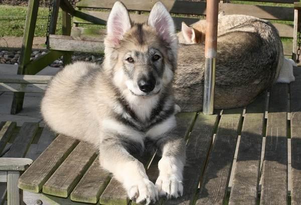 Инуит-собака-Описание-особенности-содержание-и-цена-породы-инуит-11
