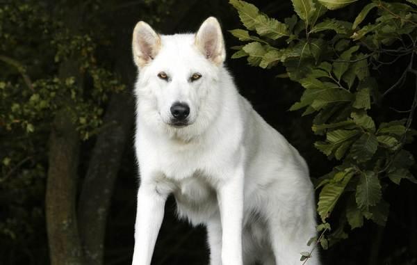 Инуит-собака-Описание-особенности-содержание-и-цена-породы-инуит-12