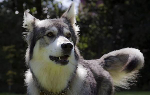 Инуит-собака-Описание-особенности-содержание-и-цена-породы-инуит-13