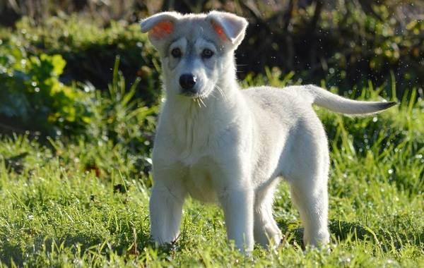 Инуит-собака-Описание-особенности-содержание-и-цена-породы-инуит-14