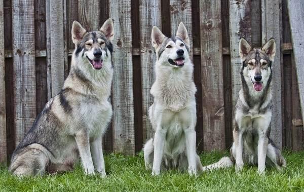 Инуит-собака-Описание-особенности-содержание-и-цена-породы-инуит-16