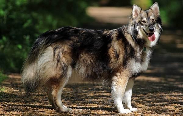 Инуит-собака-Описание-особенности-содержание-и-цена-породы-инуит-3