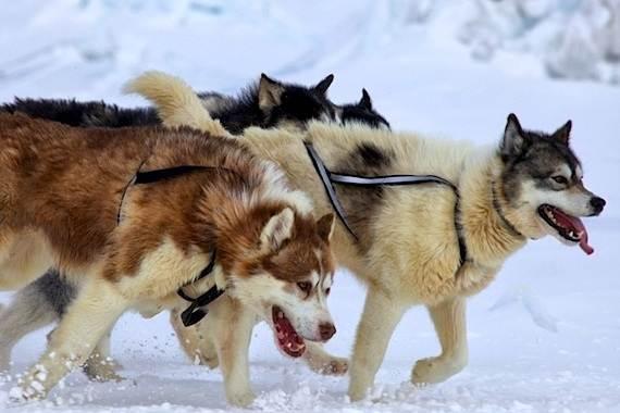 Инуит-собака-Описание-особенности-содержание-и-цена-породы-инуит-4