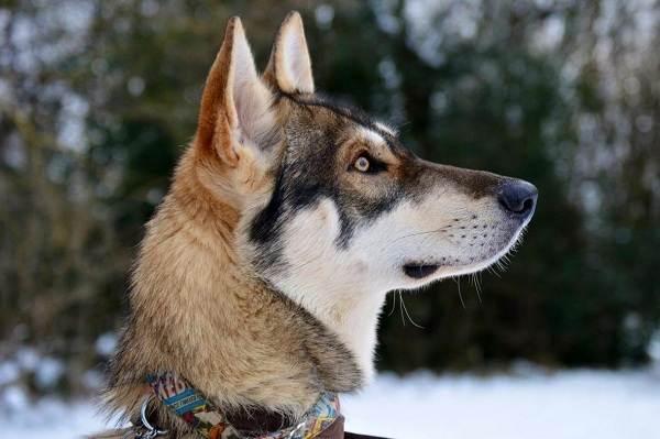 Инуит-собака-Описание-особенности-содержание-и-цена-породы-инуит-5