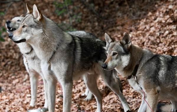 Инуит-собака-Описание-особенности-содержание-и-цена-породы-инуит-7