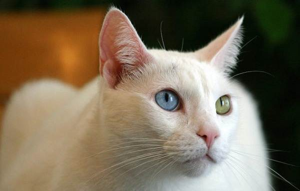 Као-мани-кошка-Описание-особенности-содержание-и-цена-породы-као-мани-1
