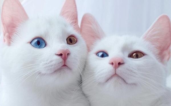 Као-мани-кошка-Описание-особенности-содержание-и-цена-породы-као-мани-11