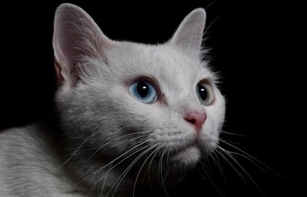 Као-мани-кошка-Описание-особенности-содержание-и-цена-породы-као-мани-13
