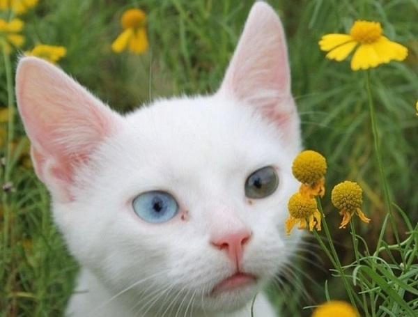 Као-мани-кошка-Описание-особенности-содержание-и-цена-породы-као-мани-14