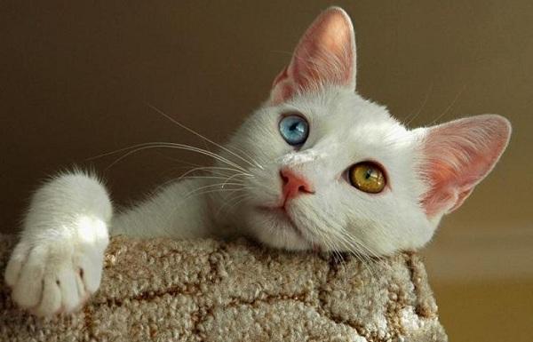 Као-мани-кошка-Описание-особенности-содержание-и-цена-породы-као-мани-15