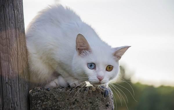 Као-мани-кошка-Описание-особенности-содержание-и-цена-породы-као-мани-2