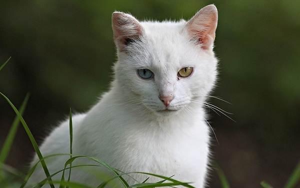 Као-мани-кошка-Описание-особенности-содержание-и-цена-породы-као-мани-3