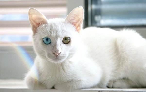 Као-мани-кошка-Описание-особенности-содержание-и-цена-породы-као-мани-4