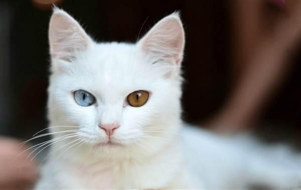 Као-мани-кошка-Описание-особенности-содержание-и-цена-породы-као-мани-5