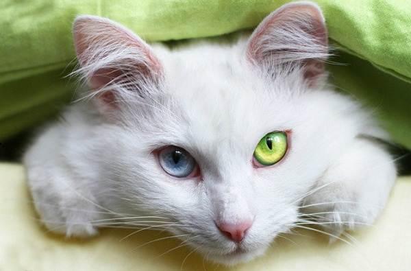 Као-мани-кошка-Описание-особенности-содержание-и-цена-породы-као-мани-7