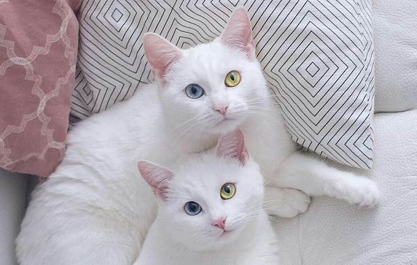 Као-мани-кошка-Описание-особенности-содержание-и-цена-породы-као-мани-8