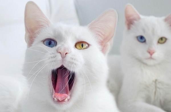 Као-мани-кошка-Описание-особенности-содержание-и-цена-породы-као-мани-9