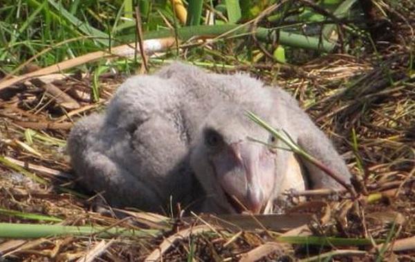 Китоглав-птица-Описание-особенности-образ-жизни-и-среда-обитания-китоглава-12