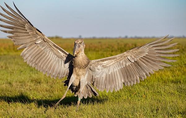 Китоглав-птица-Описание-особенности-образ-жизни-и-среда-обитания-китоглава-14