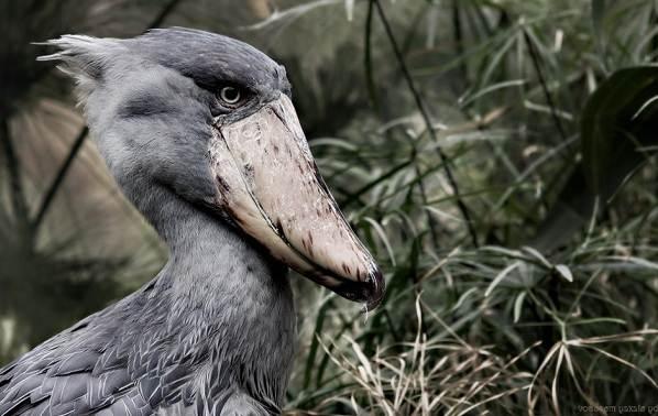 Китоглав-птица-Описание-особенности-образ-жизни-и-среда-обитания-китоглава-2