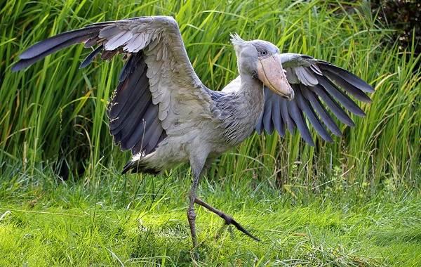 Китоглав-птица-Описание-особенности-образ-жизни-и-среда-обитания-китоглава-4