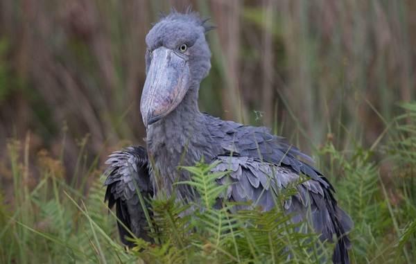 Китоглав-птица-Описание-особенности-образ-жизни-и-среда-обитания-китоглава-5