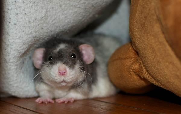 Крыса-дамбо-Описание-особенности-виды-уход-и-цена-крысы-дамбо-1