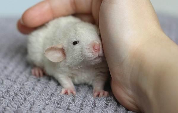 Крыса-дамбо-Описание-особенности-виды-уход-и-цена-крысы-дамбо-10