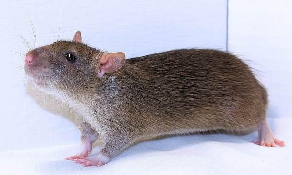 Крыса-дамбо-Описание-особенности-виды-уход-и-цена-крысы-дамбо-11