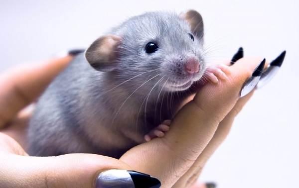 Крыса-дамбо-Описание-особенности-виды-уход-и-цена-крысы-дамбо-12