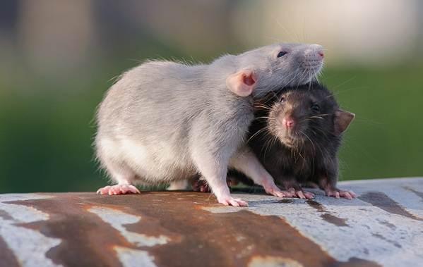 Крыса-дамбо-Описание-особенности-виды-уход-и-цена-крысы-дамбо-13