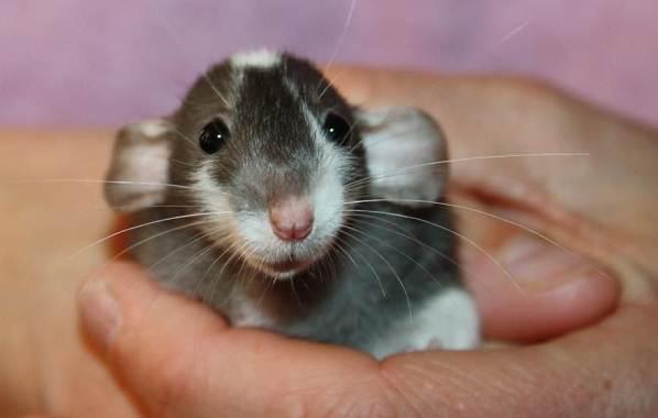Крыса-дамбо-Описание-особенности-виды-уход-и-цена-крысы-дамбо-14