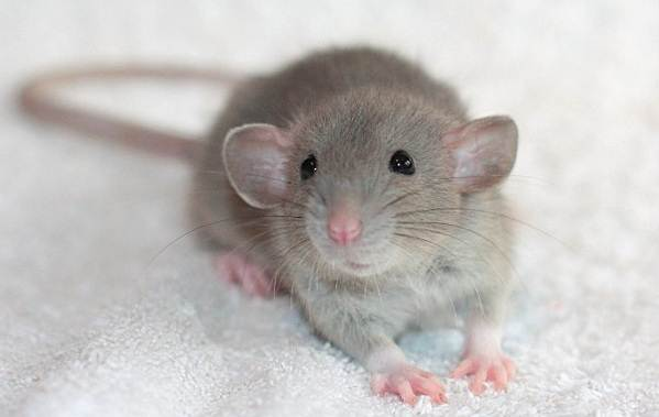 Крыса-дамбо-Описание-особенности-виды-уход-и-цена-крысы-дамбо-15