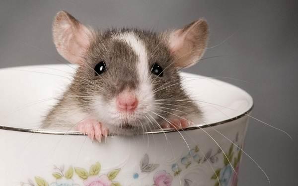 Крыса-дамбо-Описание-особенности-виды-уход-и-цена-крысы-дамбо-16