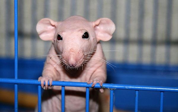 Крыса-дамбо-Описание-особенности-виды-уход-и-цена-крысы-дамбо-17
