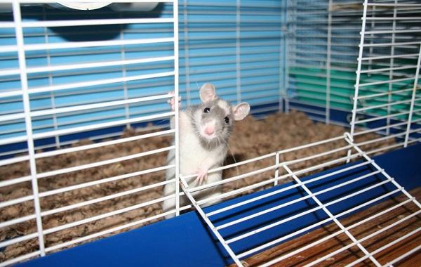 Крыса-дамбо-Описание-особенности-виды-уход-и-цена-крысы-дамбо-18
