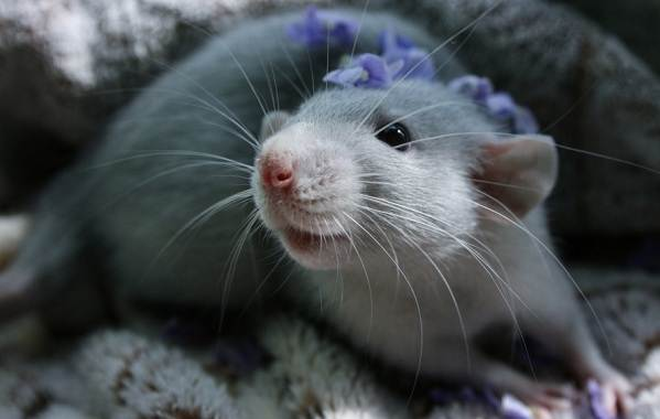Крыса-дамбо-Описание-особенности-виды-уход-и-цена-крысы-дамбо-2