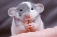 Крыса дамбо. Описание, особенности, виды, уход и цена крысы дамбо